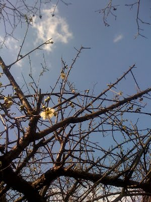 plum flower 1