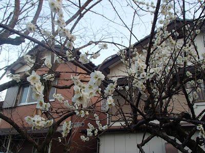 My plum tree A 2014